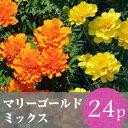 ★★マリーゴールド 花苗24ポットミックス