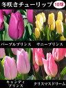 冬咲きミラクルチューリップ(1980)1品種10球