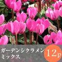 なごみ ガーデンシクラメン 花苗 12ポットミックス
