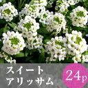★★スイートアリッサム 花苗 24ポット