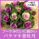 なごみ 寄せ植え ミニ 葉牡丹(スプレー/バラマキ ハボタン)10.5cmサイズ 苗