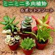 ミニミニ多肉植物(お任せ6ポットアソート)3cmポット