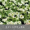 【最低数6】なごみ スイートアリッサム 白(ホワイト)3号苗