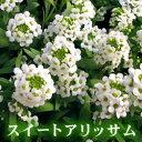 RoomClip商品情報 - 【最低数6】「スイートアリッサム:ホワイト」:9cmポット