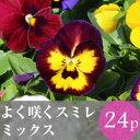 なごみ よく咲くスミレ ビオラ 花苗 24ポットミックス...