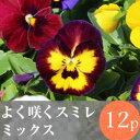 ◎◎よく咲くスミレ花苗 12ポットミックス