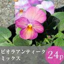 (予約)★★ビオラ アンティーク カラー 花苗 24ポットミックス