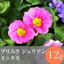 ◎◎プリムラ ジュリアン 花苗 12ポットミックス