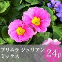 ★★プリムラ ジュリアン 花苗 24ポットミックス