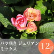 [販売終了]◎◎バラ咲き プリムラ ジュリアン 花苗 12ポットミックス