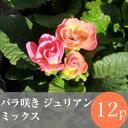[今季終了]◎◎バラ咲き プリムラ ジュリアン 花苗 12ポットミックス