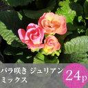 ★★バラ咲き プリムラ ジュリアン 花苗24ポットミックス