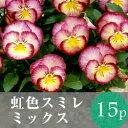 ●●(15MIX)パンジー 虹色スミレ 花苗 15ポットミックス