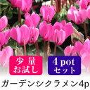 【少量お試し】なごみ ガーデンシクラメン 花苗 4ポットミックス