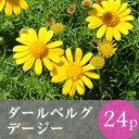 [今季終了]★★ダールベルグデージー 花苗 24ポット