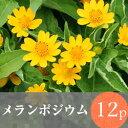 ◎◎メランポジウム 花苗 12ポット