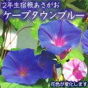 【緑のカーテン】 宿根アサガオ ケープタウンブルー