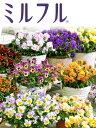 豪華なフリル咲きビオラ ミルフル 花苗