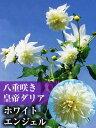 八重咲き 皇帝ダリア ホワイトエンジェル(白花) 苗10.5cmポット