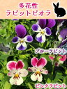 福花園オリジナル 多花性 ラビット ビオラ