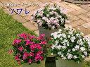 サントリー 八重咲きニチニチソウ ソワレ 3.5号 花苗...