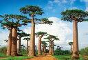 【300P】 バオバブの並木道—マダガスカル