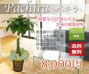 観葉植物 パキラ バスケット付 7号 80cm 送料無料 あす楽OK!!