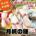 月桃の種(種子)【DM便で送料無料】