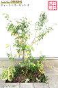 【ジューンベリーセット2】 ジューンベリー(樹高約1.5m) クチナシ(樹高約0.4m) グミ・ギルトエッジ(15cmポット) コムラサキ(9cmポット) ハツユキカズラ(9cmポット) ヤブラン(9cmポット) 庭木・植栽セット