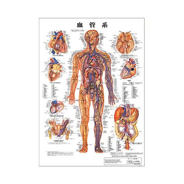 血管系 デスクサイズプラスチック版 ( ポスター )[ 人体チャート 医学チャート 人体ポスター 人体解剖図 人体図 整体用品 ][ E-5-1-2 ][ 7エステ ]