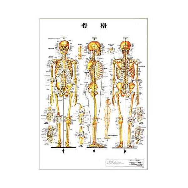 骨格 デスクサイズプラスチック版 ( ポスター )[ 人体チャート 医学チャート 人体ポスター 人体解剖図 人体図 整体用品 ][ E-5-1-2 ][ 7エステ ]