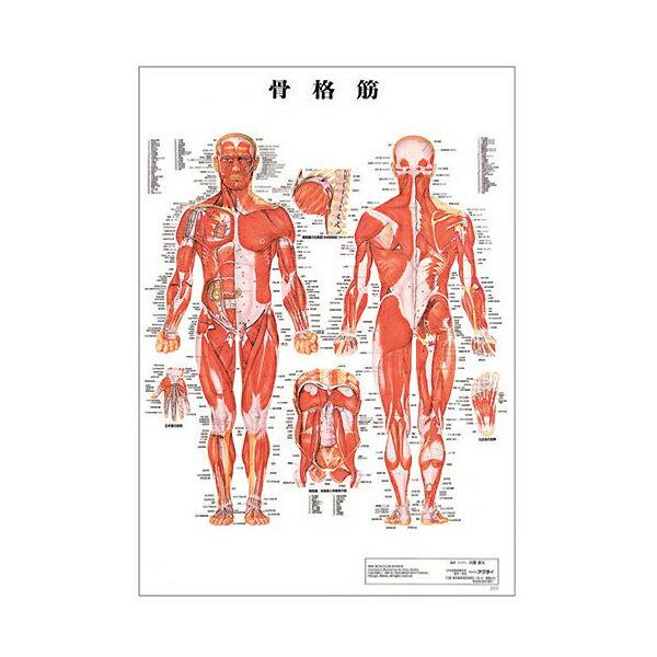 骨格筋 デスクサイズプラスチック版 ( ポスター )[ 人体チャート 医学チャート 人体ポスター 人体解剖図 人体図 整体用品 ][ E-5-1-2 ][ 7エステ ]