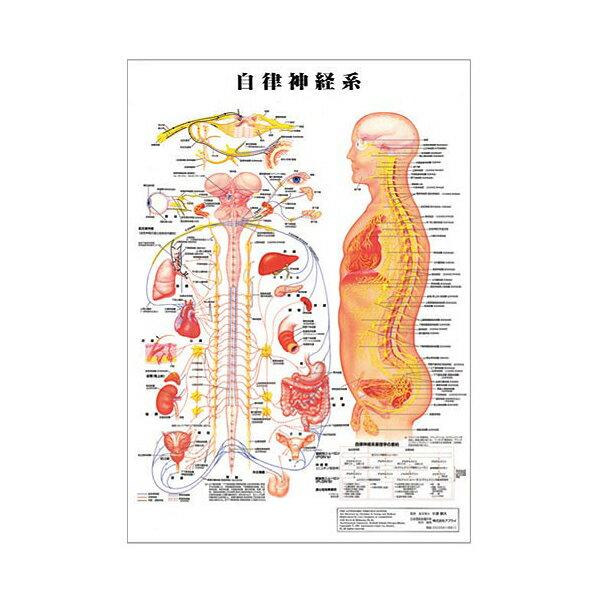 自立神経系 デスクサイズプラスチック版 ( ポスター )[ 人体チャート 医学チャート 人体ポスター 人体解剖図 人体図 整体用品 ][ E-5-1-2 ][ 7エステ ]