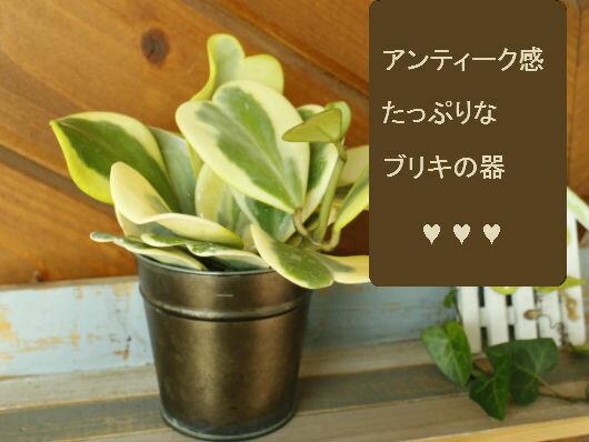 多肉植物のハートホヤカーリー、生まれる葉っぱはすべてハート型アンティーク風なブリキの器付き。花多肉植