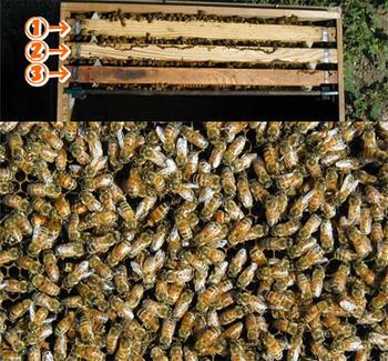 ミツバチ飼育3枚群
