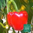 驚くほどずっしり!ジューシー!甘い! 国産 パプリカ 北海道 釧路産 サラダ パプリカ 赤 1個 野菜