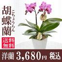胡蝶蘭 ちゅんりーリボン付 3号L2本立2WAY/花 結婚祝い 還暦祝い 母 敬老の日 プレゼント