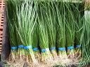 タマネギ苗10束(中生品種:50本×10束)