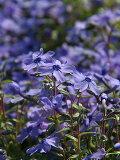 シバザクラ(紫/オーキントンブルーアイ)1P