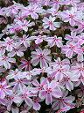芝桜・シバザクラ(タマノナガレ)1P