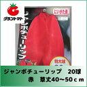ジャンボチューリップ 赤 20球入り 新潟県産【期限間近の為わけあり】