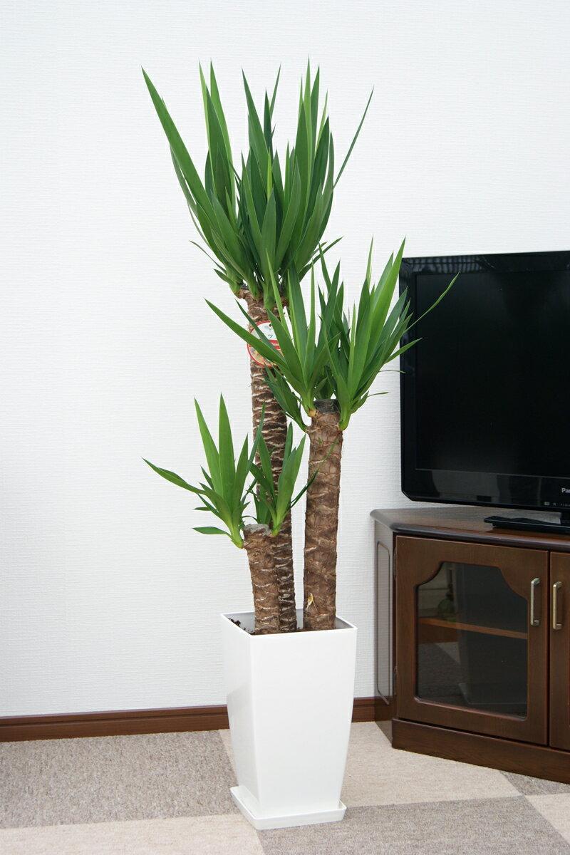 ユッカ(青年の木)8号プラ鉢|(約120cm)...の紹介画像2