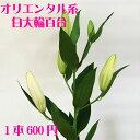 オリエンタル大輪百合 白 1本【RCP】【HLS_DU】お正月 松 千両 迎春