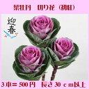 葉牡丹(赤) 3本【RCP】【HLS_DU】お正月 松 千両 迎春