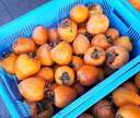あたご柿(渋柿)愛媛県西条市小松町産 大玉多めの大きさ不揃いです 10kg 送料無料