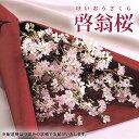 2017年 迎春ギフト 啓翁桜(けいおうさくら) 1束5本入 山形県産 お正月の贈り物 花(フラワー) 送料込み