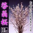 啓翁桜7本セット(年末お届け)(45-A)
