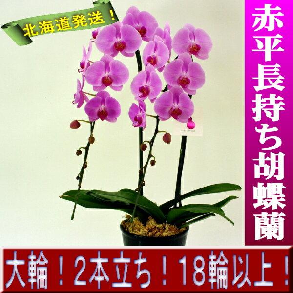<オンラインショップ限定品>赤平長持ち胡蝶蘭大輪赤 2本仕立て18輪以上【ユニマックス ロマンス】 フラワーギフトといえばかわいい胡蝶蘭《こちょうらん》!北海道の赤平で真心こめて育てたお花を鉢に仕立てて全国各地へ直送します。