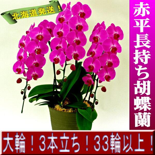 【開花18輪程度】赤平長持ち胡蝶蘭 大輪赤 3本仕立て33輪以上【ムーラン ルージュ】