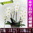 【開花18輪程度】赤平長持ち胡蝶蘭 大輪白 3本立ち33輪以上【ソゴー ユキディアン】